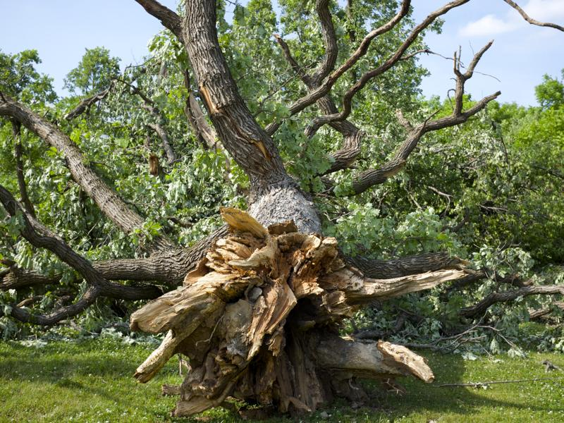 Tornado damaged tree in Platteville, WI